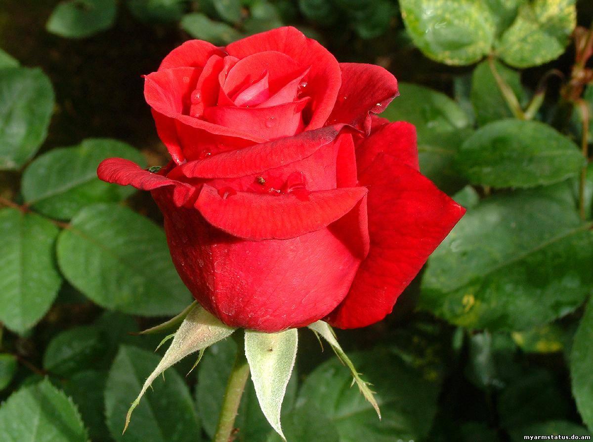 Роза цветок большой с красными цветами